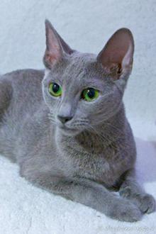 Kot Rosyjski Niebieski Russian Blue Czyli W 100 Urzekające